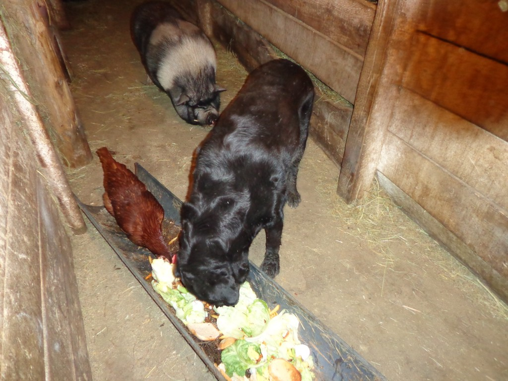 pig, dog and chicken sharing the trough of scraps from Ruby's Restaurant.